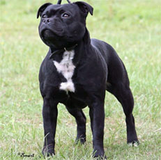 staffordshire bull terrier Devils Angel