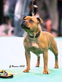staffordshire bull terrier Hubbulls The Promise