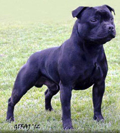 staffordshire bull terrier Zakstaff Whats The Story
