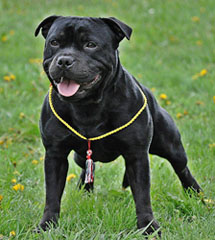 staffordshire bull terrier Sang Real Staff SBT Prince Charles