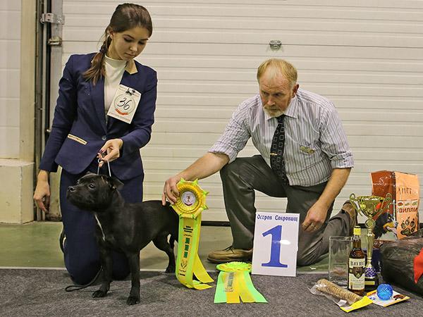 куплю щенка стаффордширского бультерьера, выставка, стаффордширский бультерьер, результаты